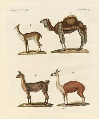 Llama Drawing - Various Camels by Splendid Art Prints
