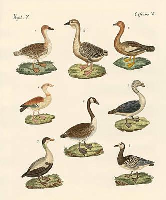 Various Kinds Of Geese Print by Splendid Art Prints