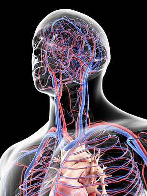 Vascular System In Head Print by Sciepro