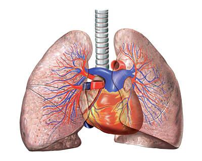 Vascular System. Lungs Print by Asklepios Medical Atlas