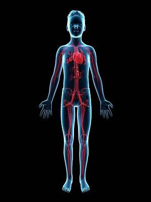 Vascular System Of A Boy Print by Sebastian Kaulitzki