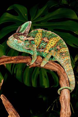 Chameleon Photograph - Veiled Chameleon, Chamaeleo by David Northcott