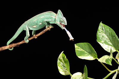 Highspeed Photograph - Veiled Chameleon Feeding by David Kenny
