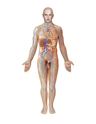 Venous System Print by Asklepios Medical Atlas