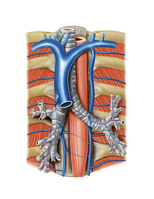 Venous System Of The Chest Print by Asklepios Medical Atlas
