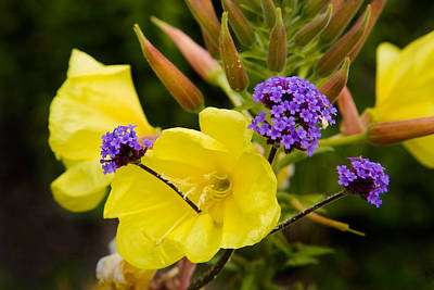 Garden Flowers Photograph - Verbena Bonariensis And Evening by Panoramic Images