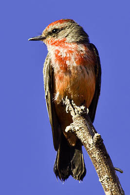 Vermillion Flycatcher Original by Paul Riedinger