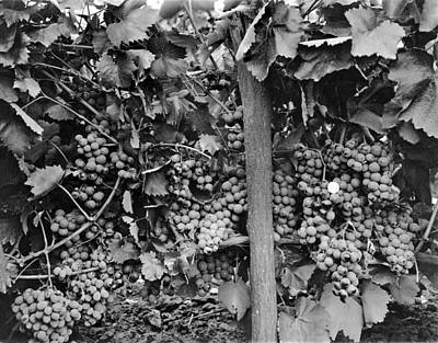 Big Wine Photograph - Very Robust Grape Crop by Underwood Archives