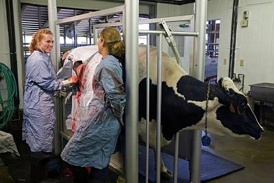Veterinarians Operating On A Cow Print by Jim West
