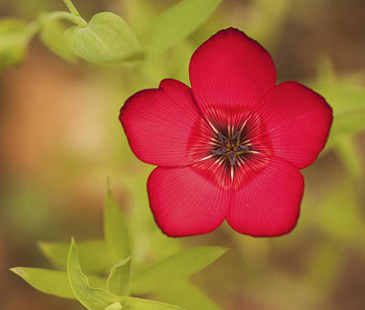 Natuure Photograph - Vibrant Deep Red Wild Flower With Shallow Depth Of Field by Matthew Gibson