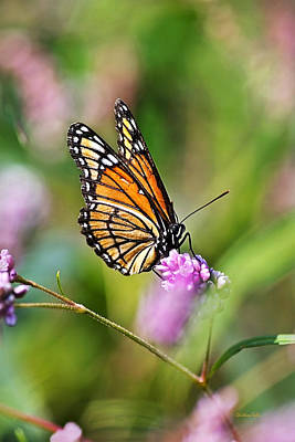 Viceroy Butterfly Print by Christina Rollo