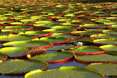 Victoria Amazonica Lily Pads Print by Keren Su