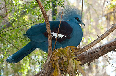 Indonesian Wildlife Photograph - Victoria Crowned Pigeon by Mark Newman