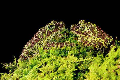 Vietnamese Mossy Frog, Theloderma Print by David Northcott