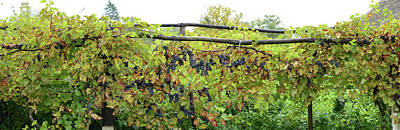 Romania Photograph - View Of Grape Vines, Bradu, Arges by Panoramic Images
