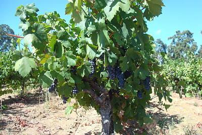 Villa Toscano Vineyards Print by Susan Woodward