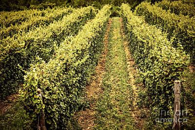 Winery Photograph - Vines Growing In Vineyard by Elena Elisseeva