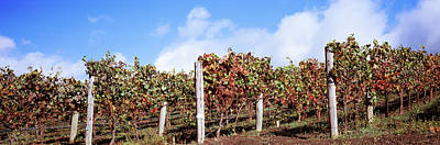 Vines In A Vineyard, Napa Valley, Wine Print by Panoramic Images