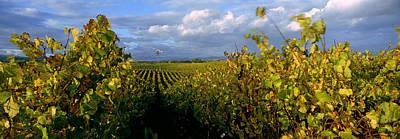 Napa Photograph - Vineyard, Napa Valley, California, Usa by Panoramic Images