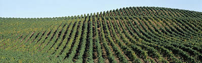 Vineyard In Napa Photograph - Vineyard, Napa Valley, Napa County by Panoramic Images