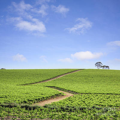 Vineyard South Australia Print by Colin and Linda McKie