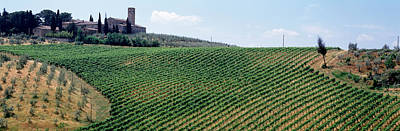Vineyards And Olive Grove Outside San Print by Panoramic Images