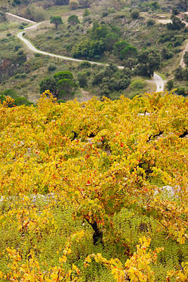 Languedoc Photograph - Vineyards, Collioure, Vermillion Coast by Panoramic Images