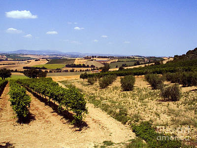 Olea Europaea Photograph - Vineyards by Tim Holt