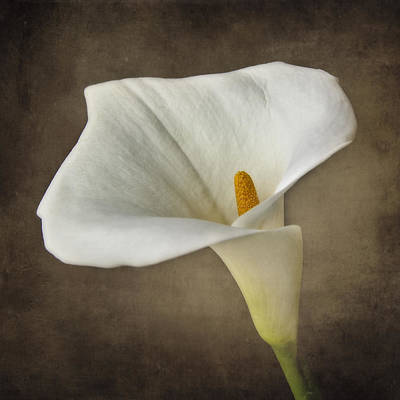 Lillies Photograph - Vintage Calla Palustris by Erik Brede