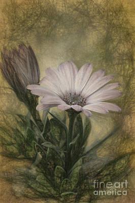 Osteospermum Photograph - Vintage Daisy by Lois Bryan