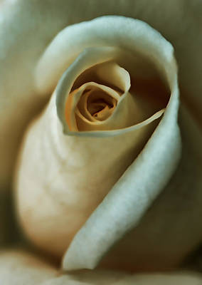 Vintage Macro Rose Flower Print by Jennie Marie Schell