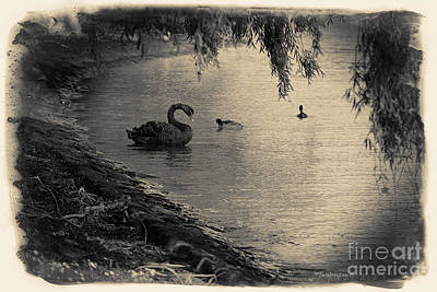Vintage Views II - Swans And Cygnets Print by Chris Armytage