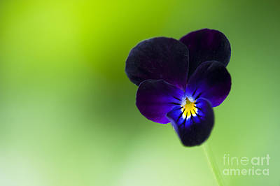 Viola Cornuta 'bowles Black' Print by Tim Gainey
