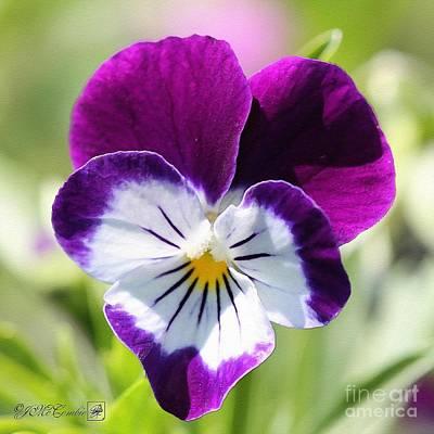 Viola Named Sorbet Blackberry Cream Print by J McCombie