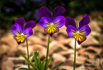 Viola Tricolor Print by Robert Bales