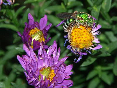 Peterson Nature Photograph - Virescent Metallic Green Bee by James Peterson