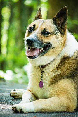 Corgies Photograph - Visiting Dog by Gabrielle Harrison