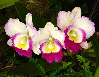 Cattleya Orchid Print by Richard Bryce and Family