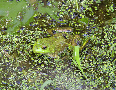 Wa, Juanita Bay Wetland, Bullfrog Print by Jamie and Judy Wild