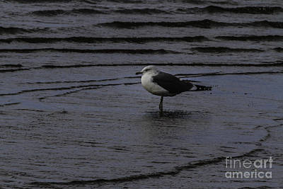 Wading Gull Print by Mitch Shindelbower