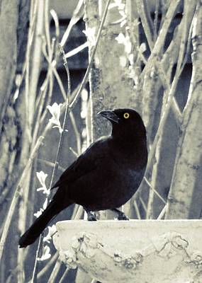 Starlings Digital Art - Waiting Grackle by Gothicolors Donna Snyder