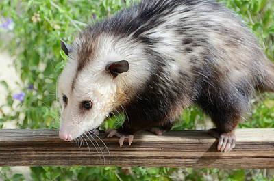 Opossum Photograph - Walk The Line by Fraida Gutovich