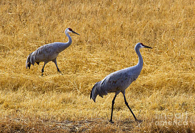 Sandhill Crane Photograph - Walk This Way by Mike Dawson