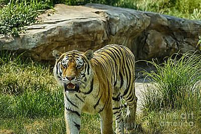 Walking Tiger Print by Jeremy Linot
