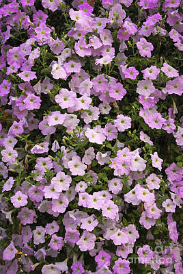 Bed Photograph - Wall Of Petunias by Elena Elisseeva