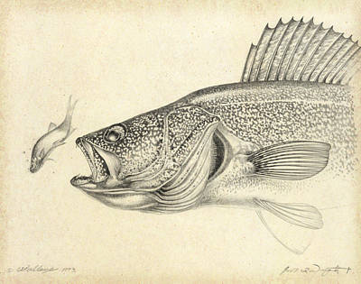 Walleye Painting - Walleye Pencil Study by Jon Q Wright