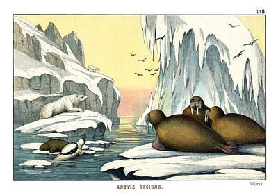 Seehund Drawing - Walrus by Splendid Art Prints