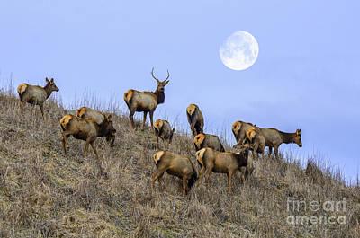Roaming Elk Photograph - Wanderers by Anthony Heflin