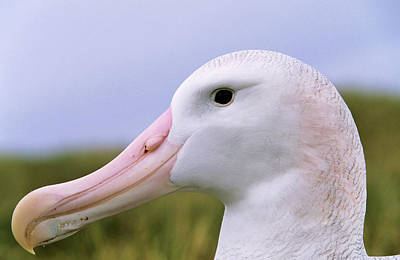 Wandering Photograph - Wandering Albatross (diomendea Exulans by Martin Zwick