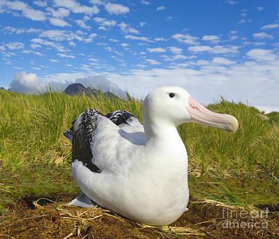 Albatross Photograph - Wandering Albatross Incubating S Georgia by